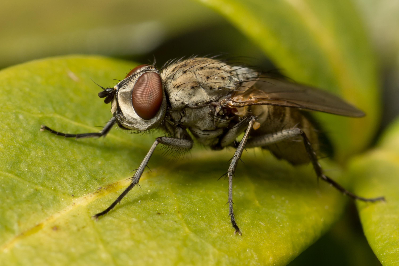 Fluebekæmplse